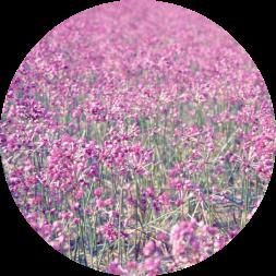 砂丘らっきょうの鮮やかな花畑